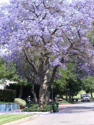 Up LA River Part 10: Jacaranda tree