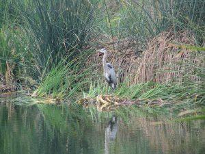 Up LA River Part 12: blue heron 1