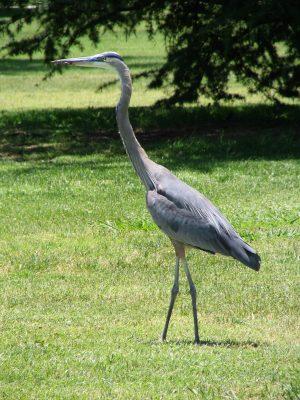 Up LA River Part 12: blue heron 2
