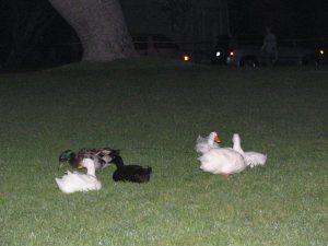 Hollywood Forever Hamlet: family of ducks