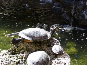 Santa Barbara: red eared slider