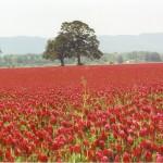 Red clover field