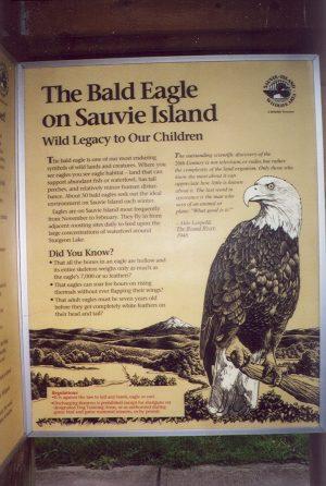 The Bald Eagle on Sauvie Island