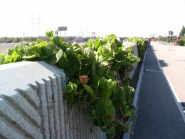 Down LA River Part 8: grape vines