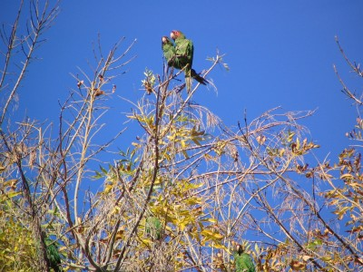Rt 66: Alhambra, South Pasadena: parrot twosome