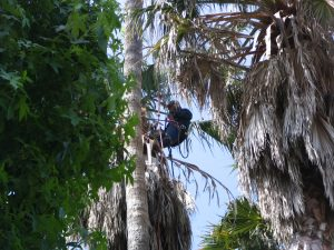 Up LA River Part 11: palm tree trimmer