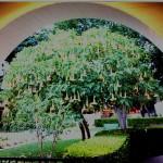21 Missions: San Buenaventura Angel Trumpet