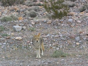 Death Valley: coyote