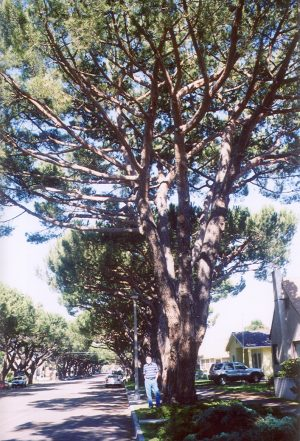 Lompoc Italian Stone Pines, John Varley