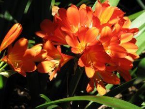 Descanso Gardens: Clivia miniata