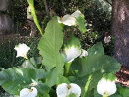 Descanso Gardens: green tipped lilies