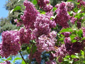 Descanso Gardens: lilacs