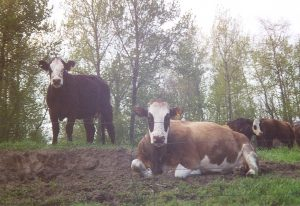 Sauvie Island cows